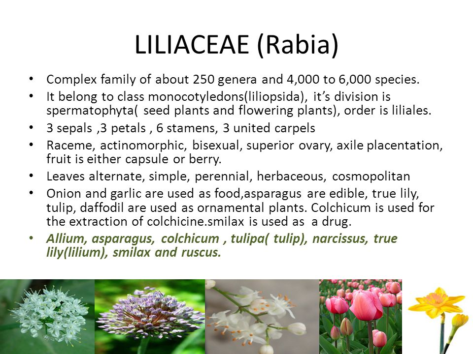 LILIACEAE (Rabia) Complex family of about 250 genera and 4,000 to 6,000 species.