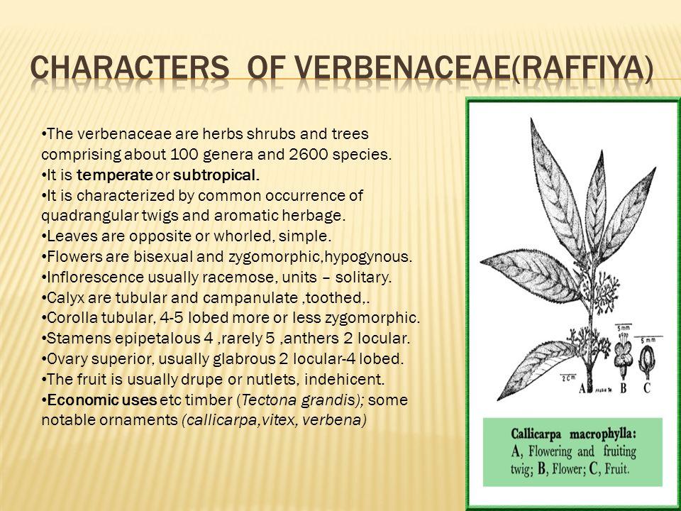 Characters of verbenaceae(Raffiya)