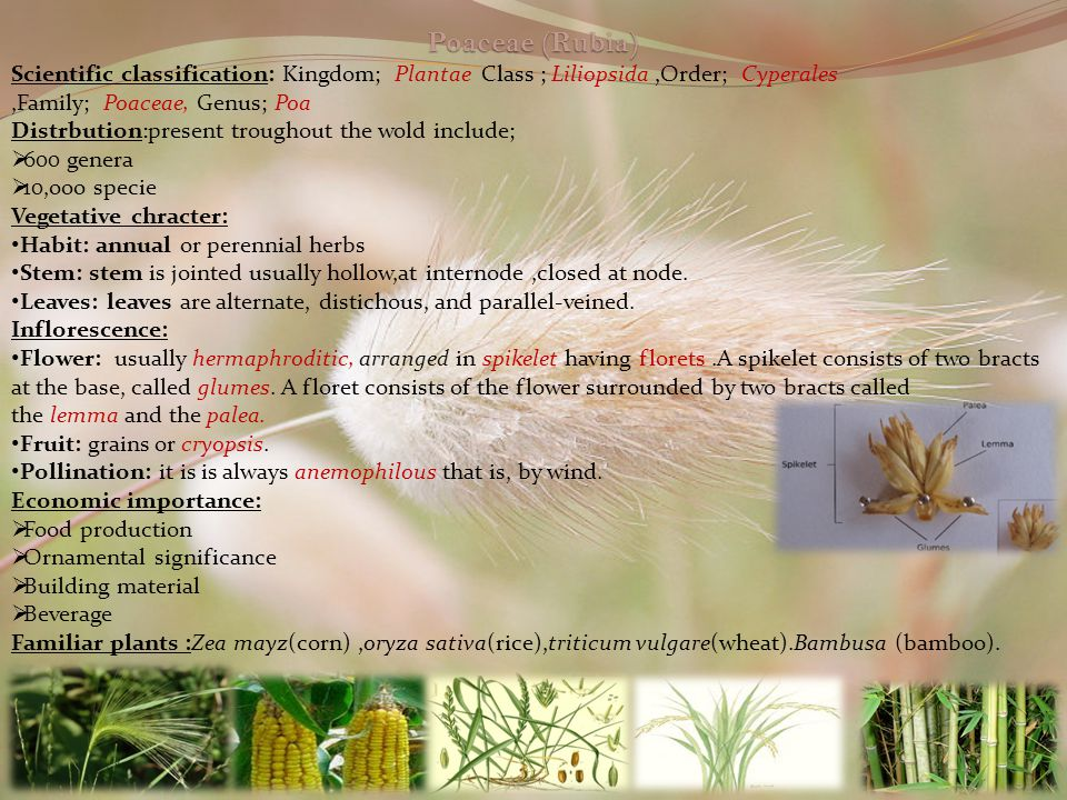 Poaceae (Rubia) Scientific classification: Kingdom; Plantae Class ; Liliopsida ,Order; Cyperales ,Family; Poaceae, Genus; Poa.