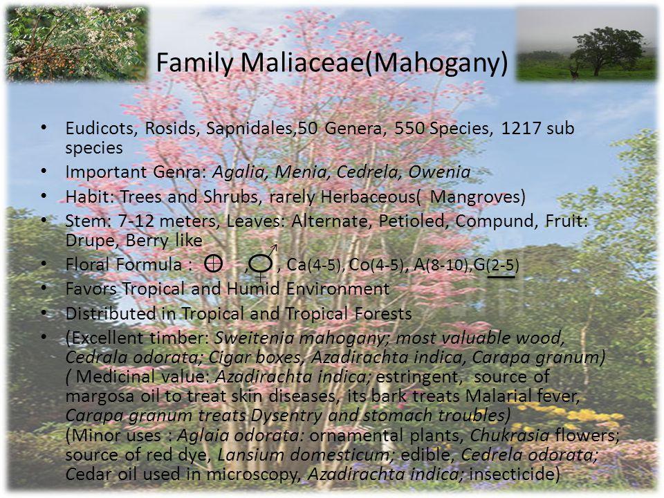 Family Maliaceae(Mahogany)