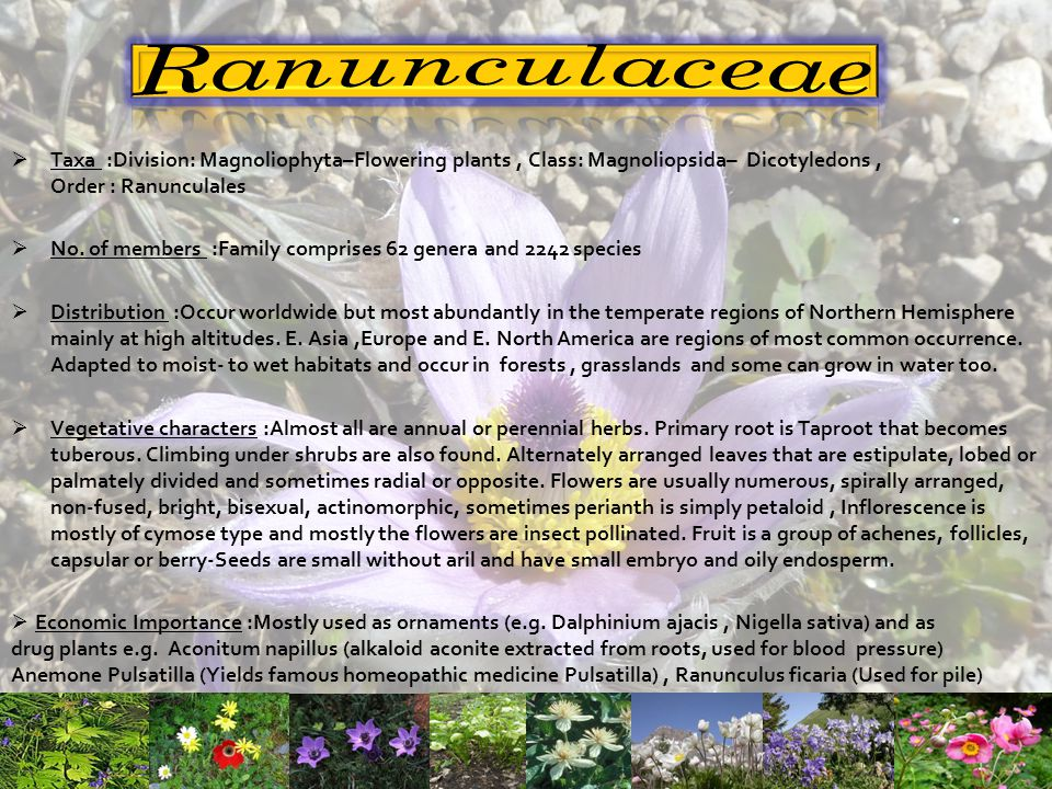 Ranunculaceae Taxa :Division: Magnoliophyta–Flowering plants , Class: Magnoliopsida– Dicotyledons , Order : Ranunculales.
