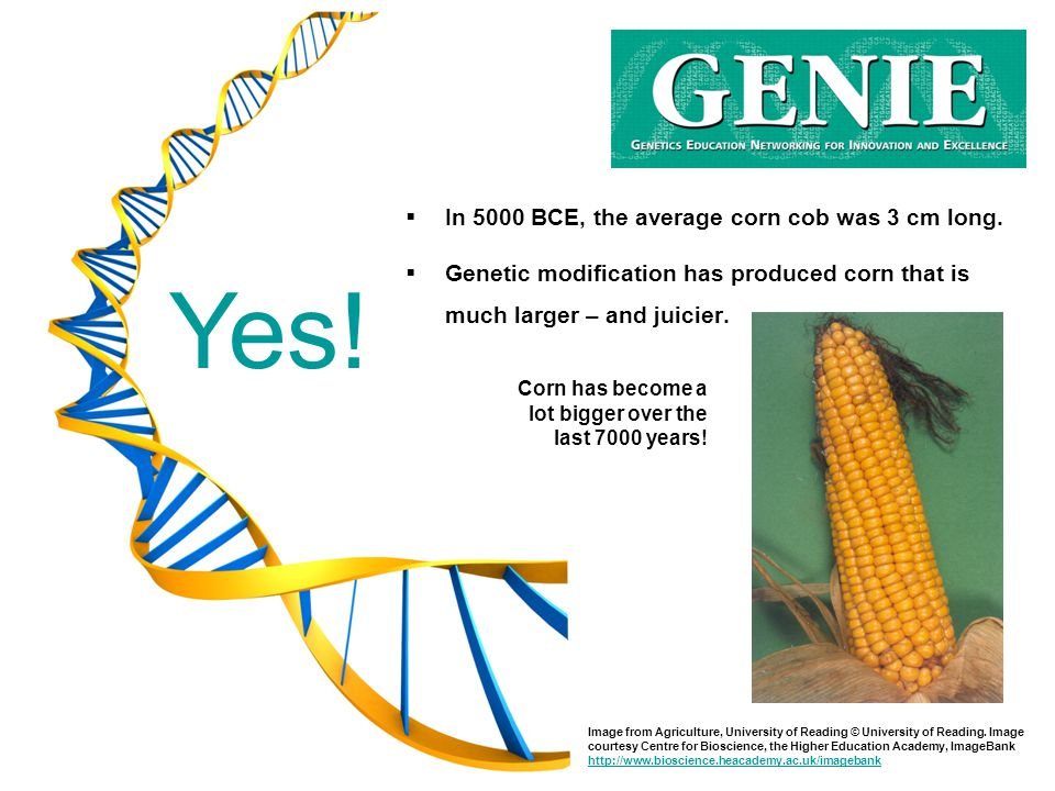 Yes! In 5000 BCE, the average corn cob was 3 cm long.