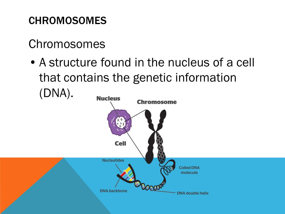 Chromosomes Chromosomes • A structure found in the nucleus of a cell that contains the genetic information (DNA).