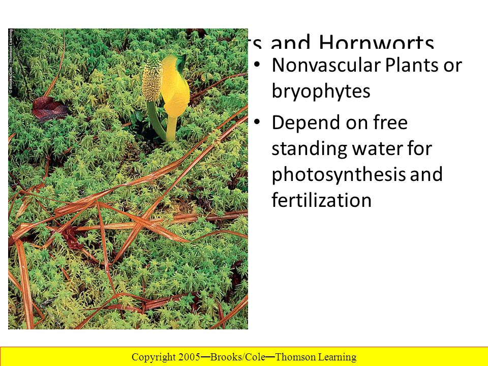 Mosses, Liverworts and Hornworts