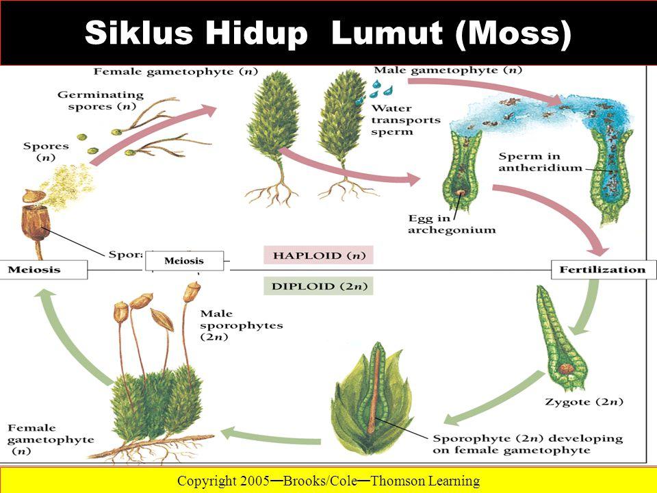 Siklus Hidup Lumut (Moss)