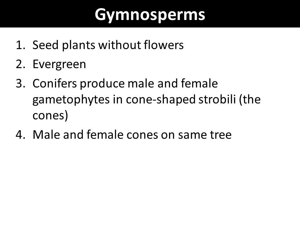 Gymnosperms Seed plants without flowers Evergreen