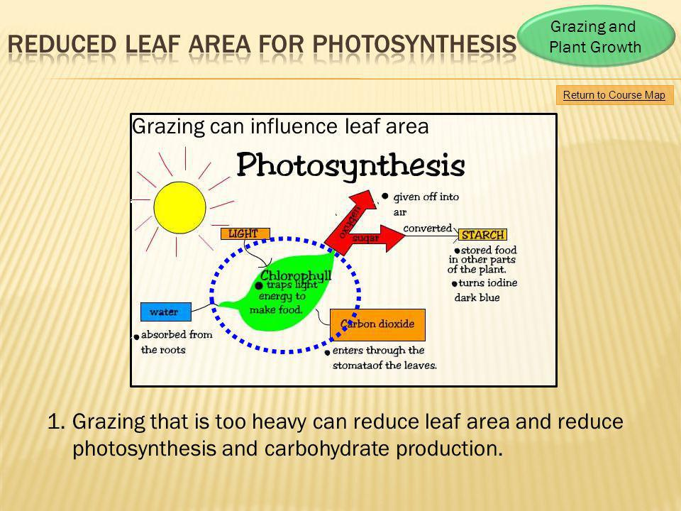 Reduced leaf area for photosynthesis