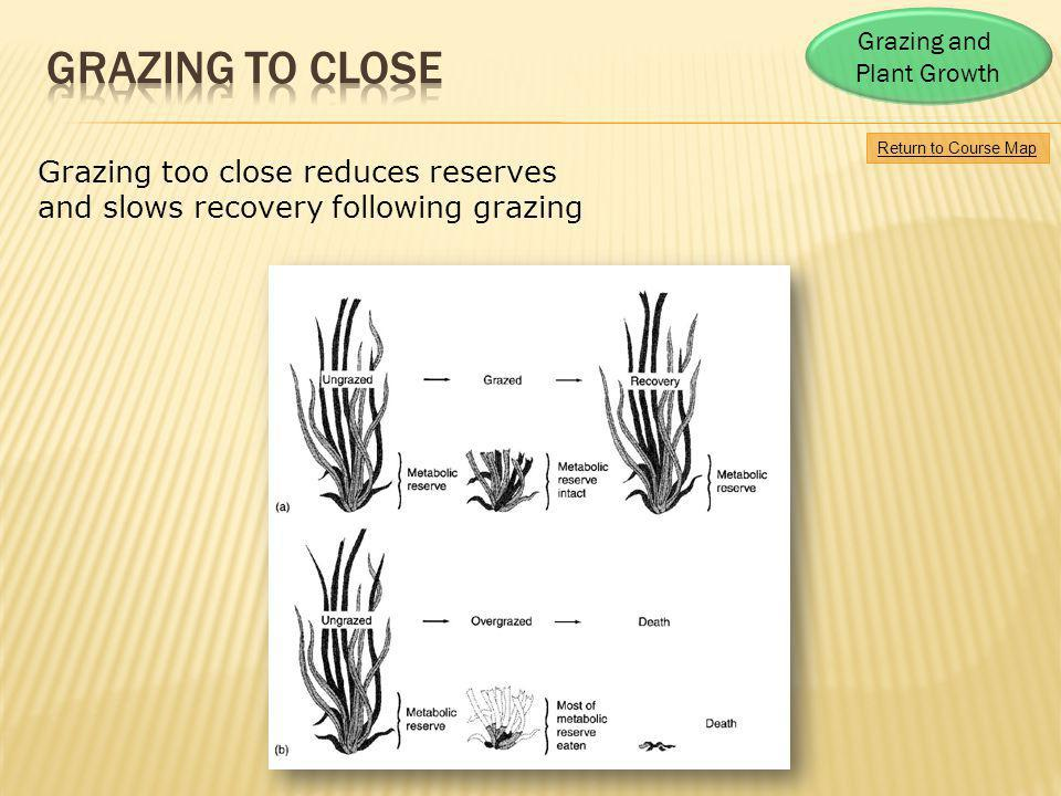 GRAZING TO CLOSE Grazing too close reduces reserves