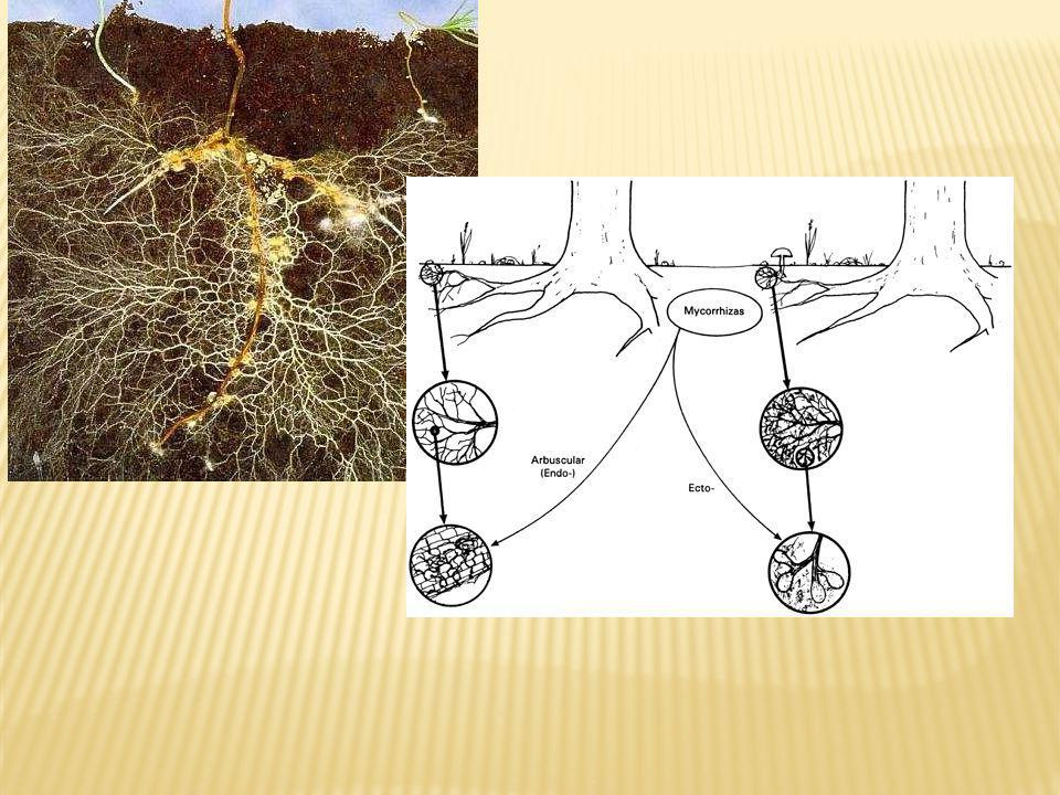 Mycorrhizae are a mutualism between plants and fungi