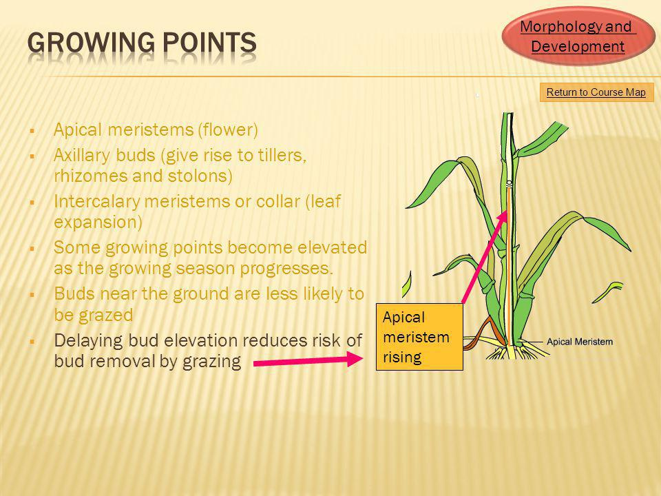 Growing Points Apical meristems (flower)