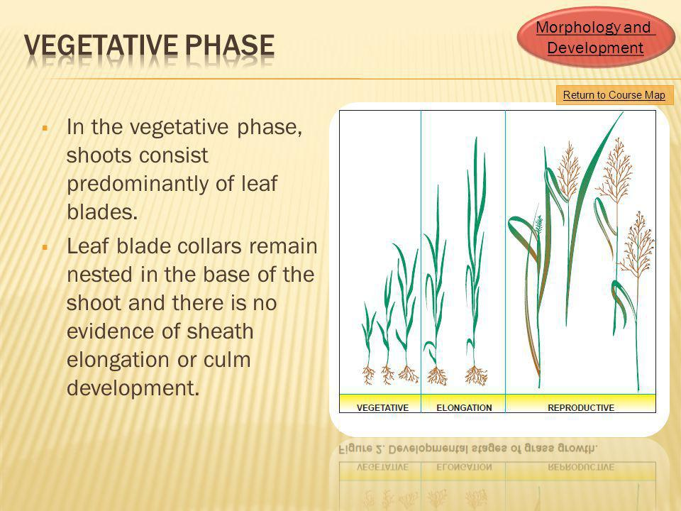 Morphology and Development. Vegetative Phase. Return to Course Map. In the vegetative phase, shoots consist predominantly of leaf blades.