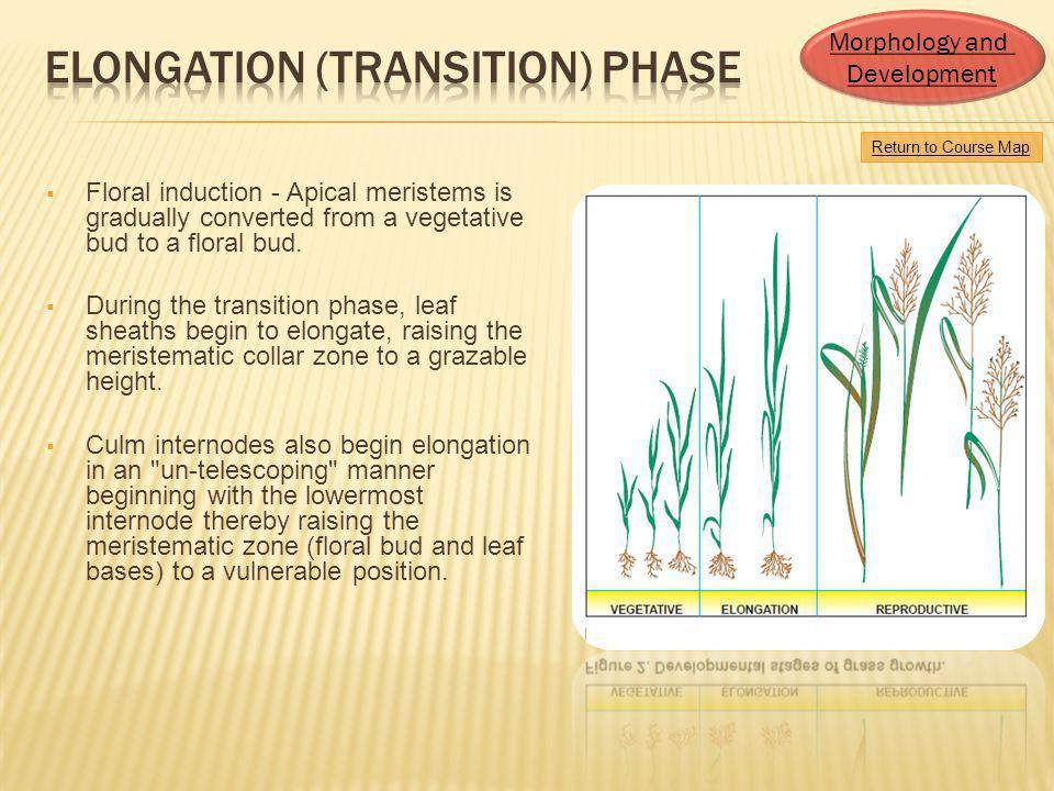 Elongation (Transition) Phase