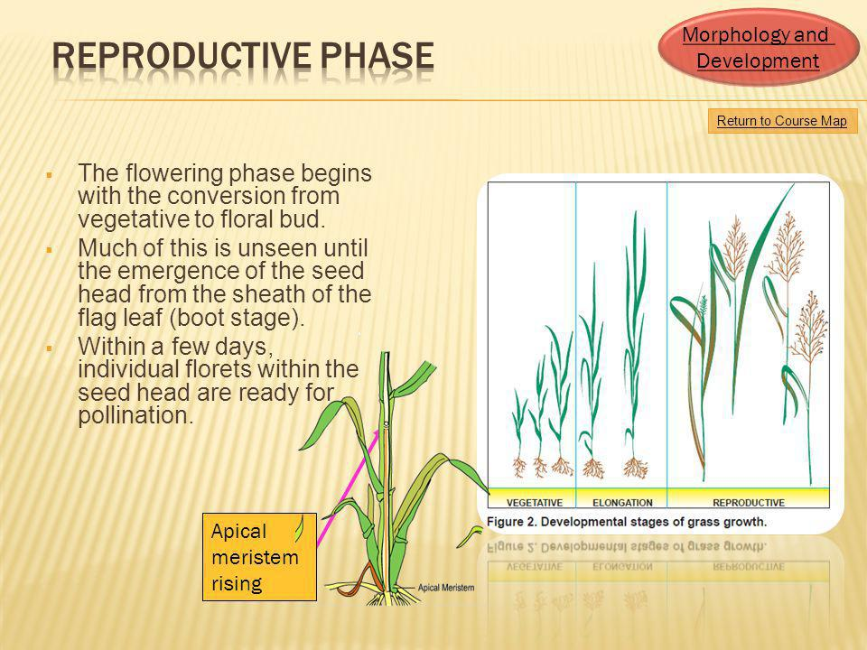 Morphology and Development. Reproductive Phase. Return to Course Map.