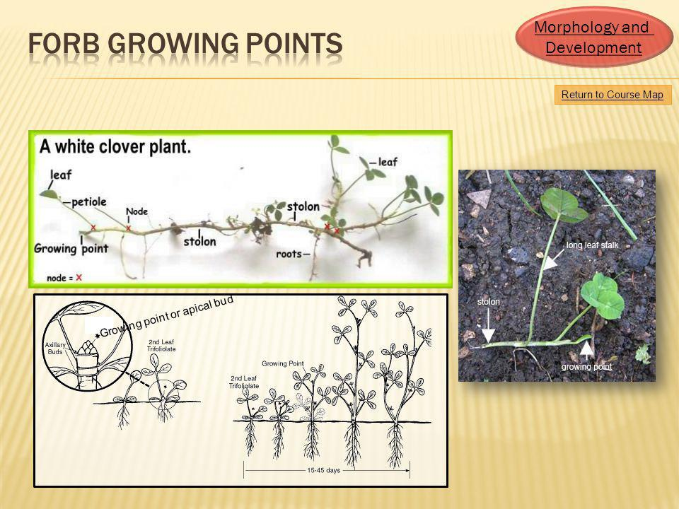 Forb growing points Morphology and Development