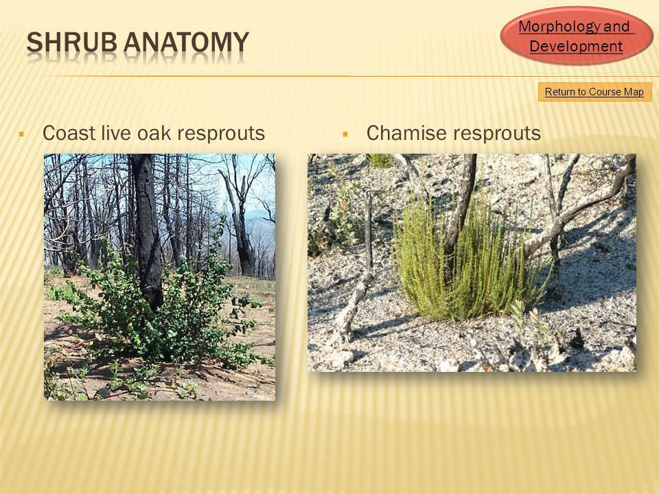Shrub Anatomy Coast live oak resprouts Chamise resprouts