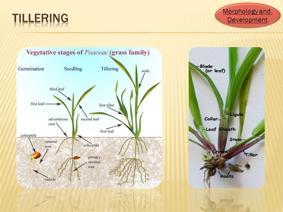 tillering Morphology and Development