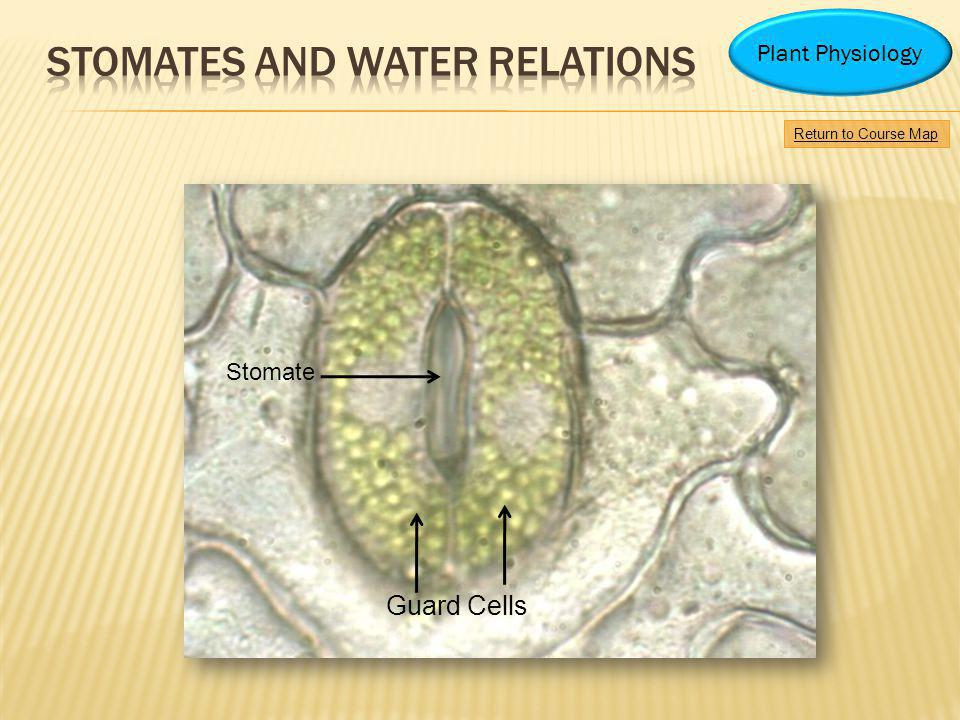 STOMATES AND WATER RELATIONS