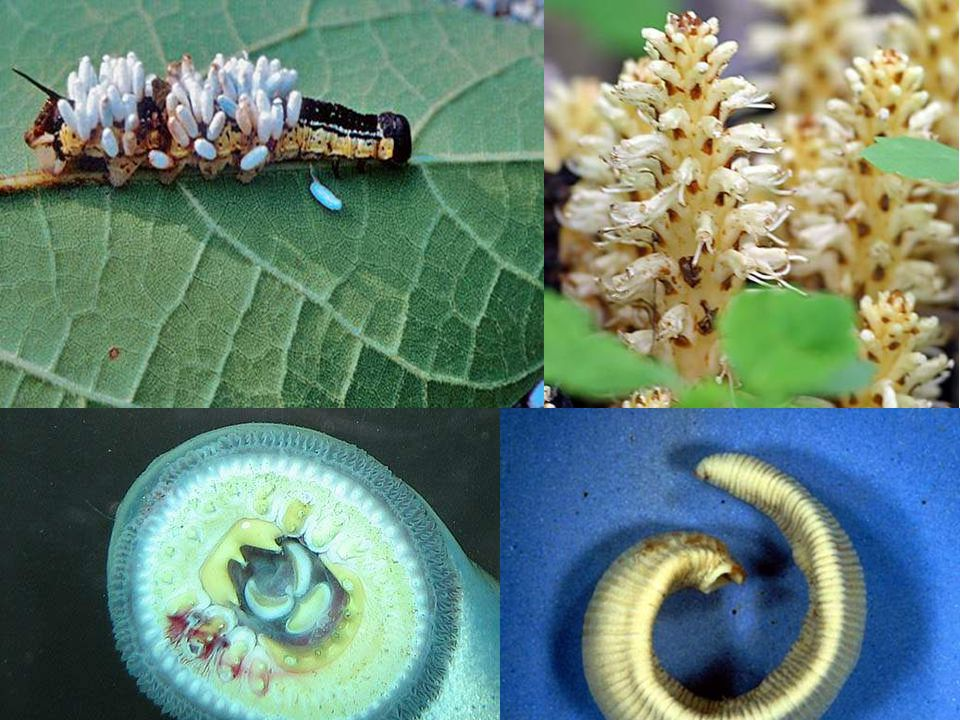 Parasitism How do you think each represents parasitism or how do you think the organism shown is parasitic