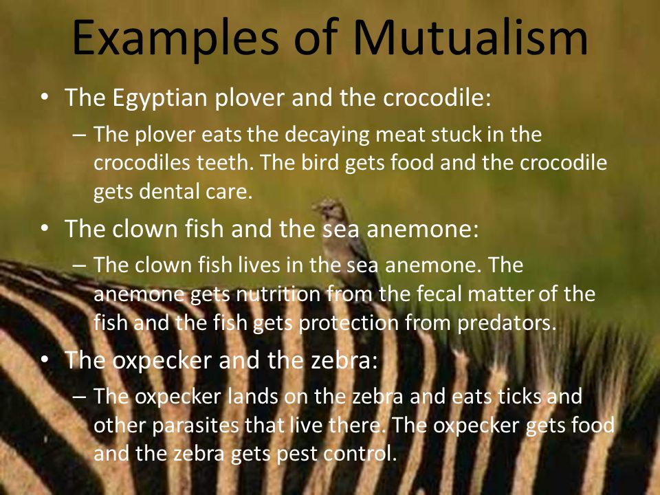 Examples of Mutualism The Egyptian plover and the crocodile: