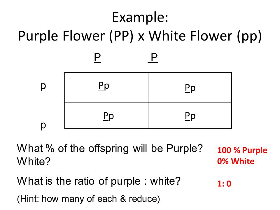 Example: Purple Flower (PP) x White Flower (pp)