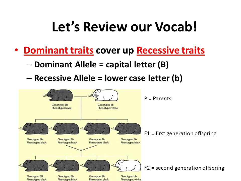 Let's Review our Vocab! Dominant traits cover up Recessive traits
