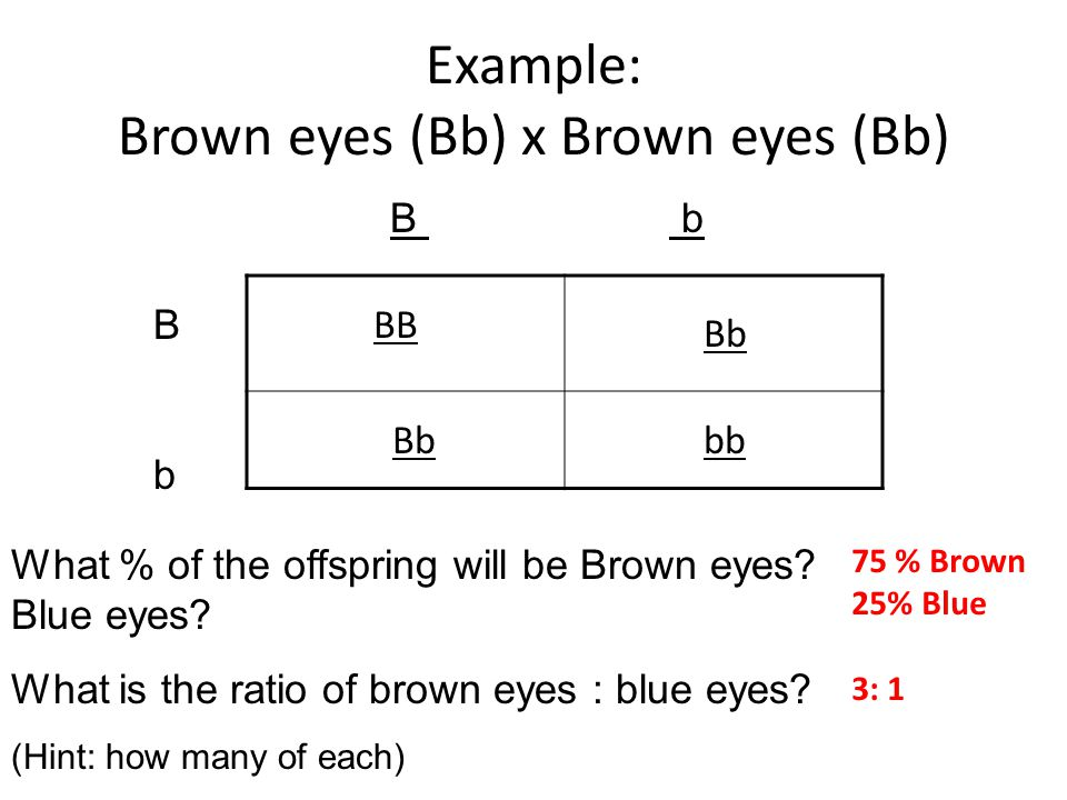 Example: Brown eyes (Bb) x Brown eyes (Bb)