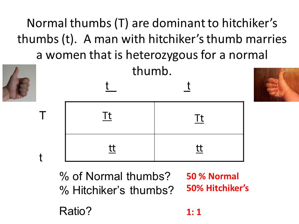 Normal thumbs (T) are dominant to hitchiker's thumbs (t)