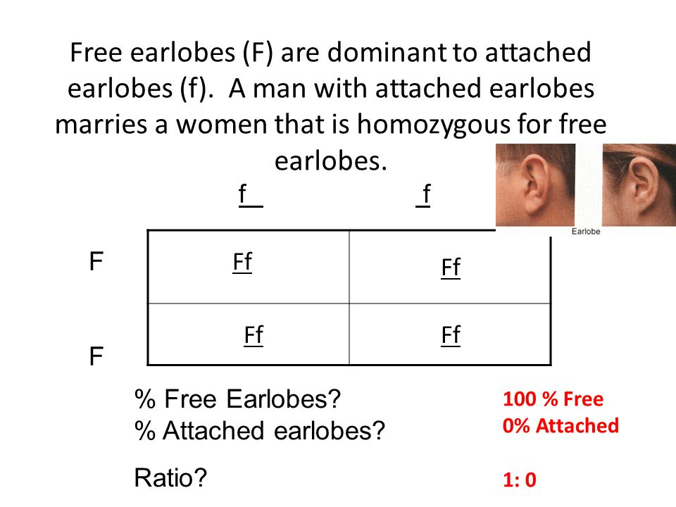 Free earlobes (F) are dominant to attached earlobes (f)