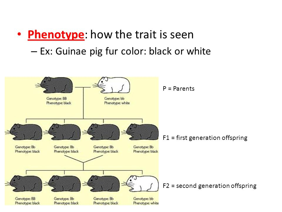 Phenotype: how the trait is seen