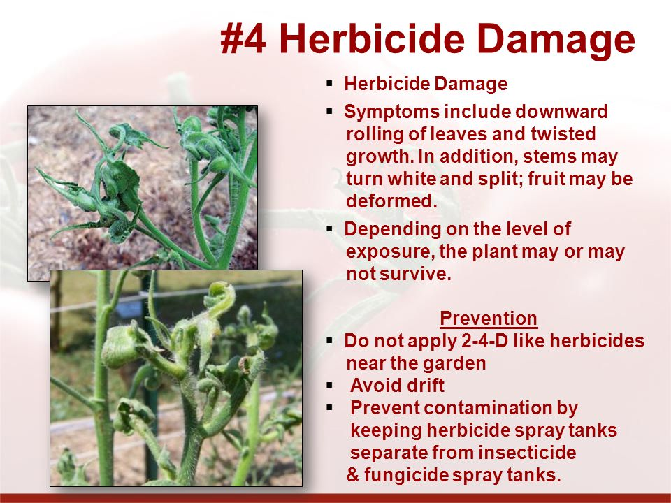 #4 Herbicide Damage Herbicide Damage Symptoms include downward