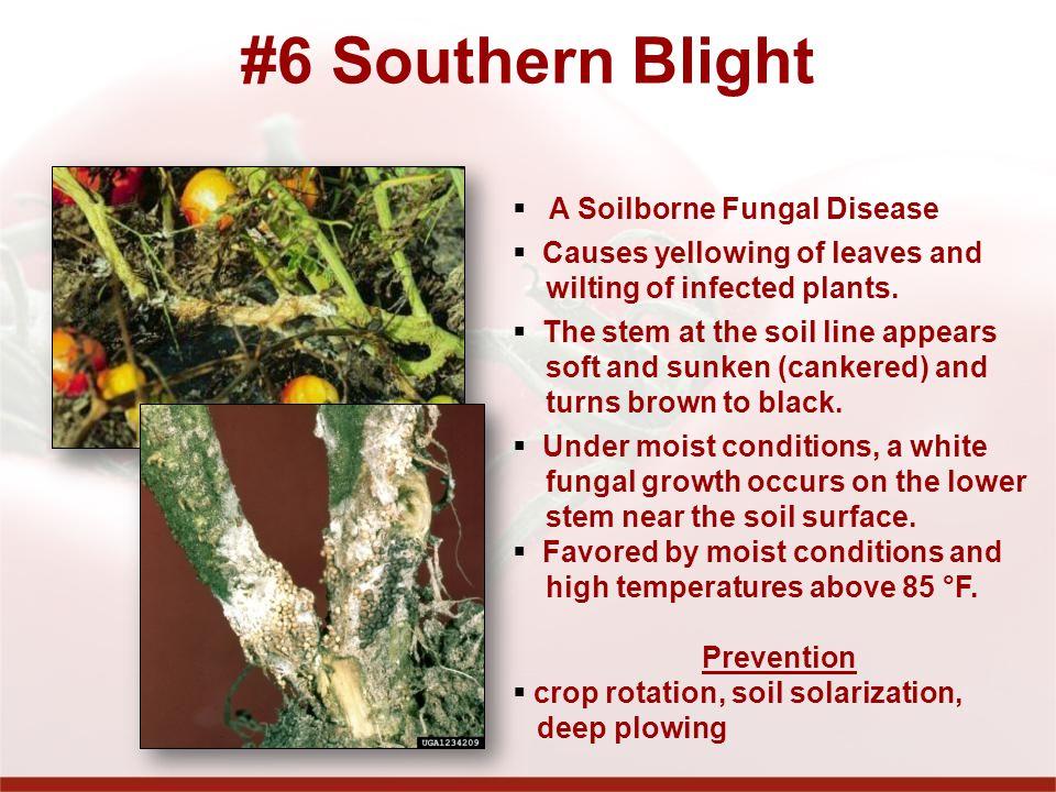 #6 Southern Blight A Soilborne Fungal Disease