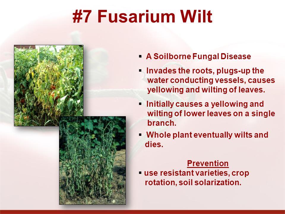 #7 Fusarium Wilt A Soilborne Fungal Disease
