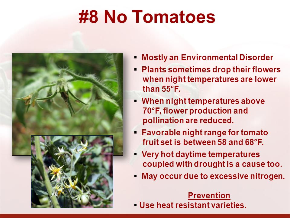 #8 No Tomatoes Mostly an Environmental Disorder