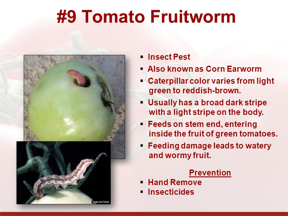 #9 Tomato Fruitworm Insect Pest Also known as Corn Earworm