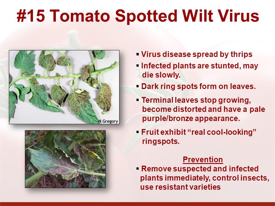 #15 Tomato Spotted Wilt Virus