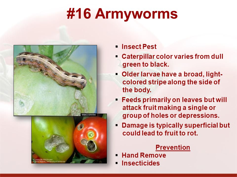#16 Armyworms Insect Pest Caterpillar color varies from dull