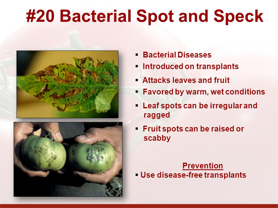 #20 Bacterial Spot and Speck
