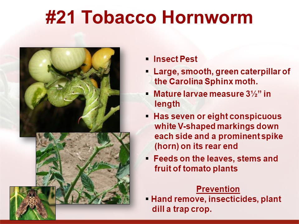 #21 Tobacco Hornworm Insect Pest Large, smooth, green caterpillar of