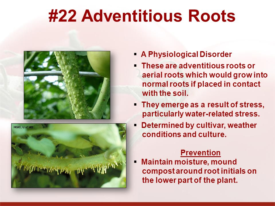 #22 Adventitious Roots A Physiological Disorder
