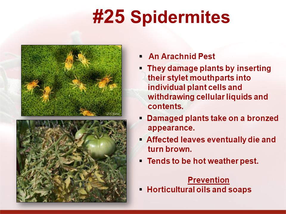 #25 Spidermites An Arachnid Pest They damage plants by inserting