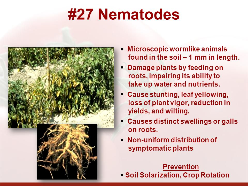 #27 Nematodes Microscopic wormlike animals
