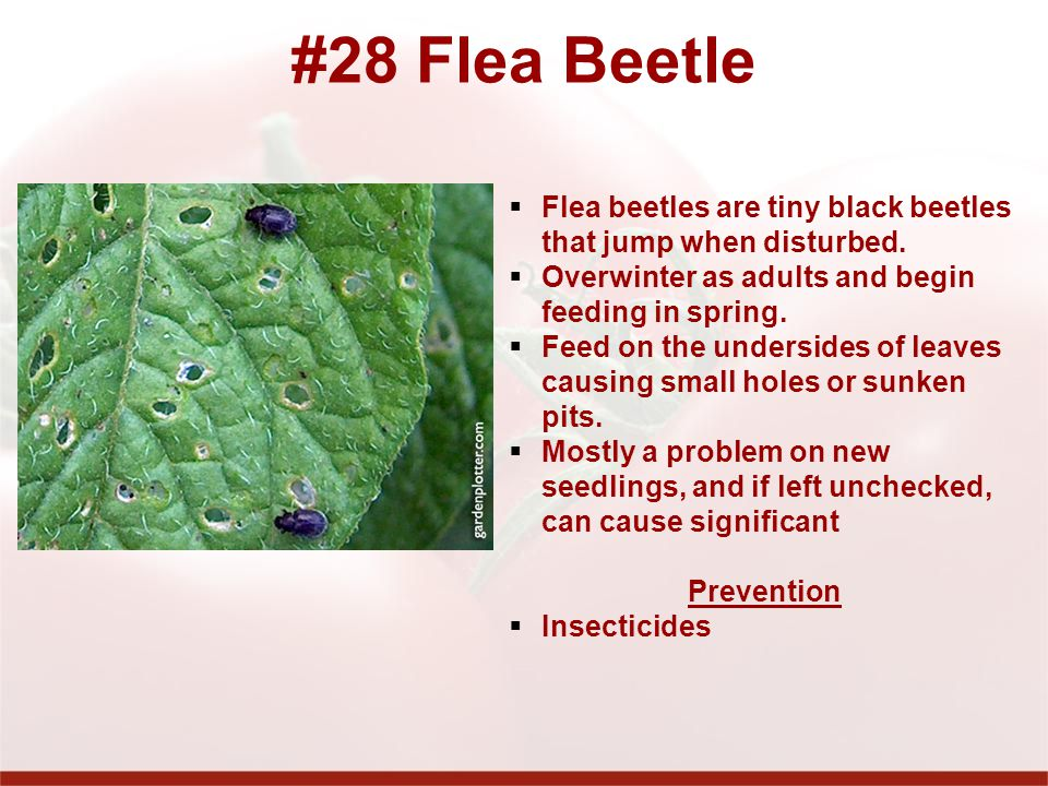 #28 Flea Beetle Flea beetles are tiny black beetles that jump when disturbed. Overwinter as adults and begin feeding in spring.
