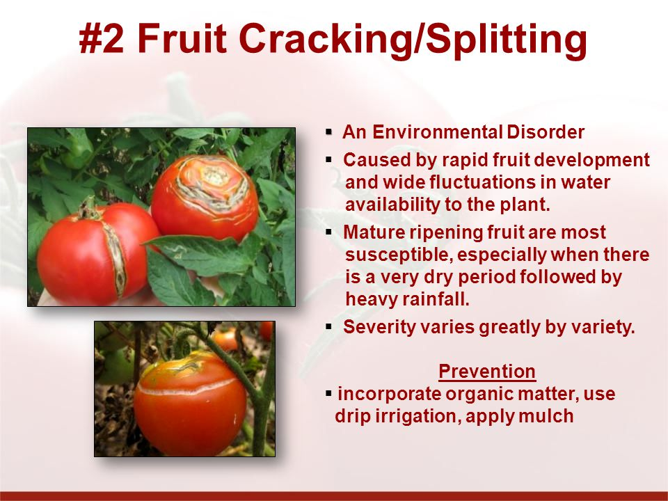 #2 Fruit Cracking/Splitting