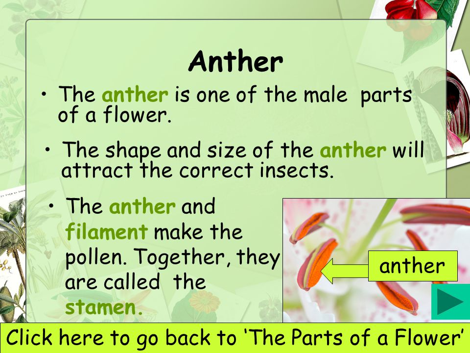 Click here to go back to 'The Parts of a Flower'