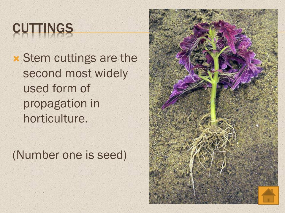 cuttings Stem cuttings are the second most widely used form of propagation in horticulture.