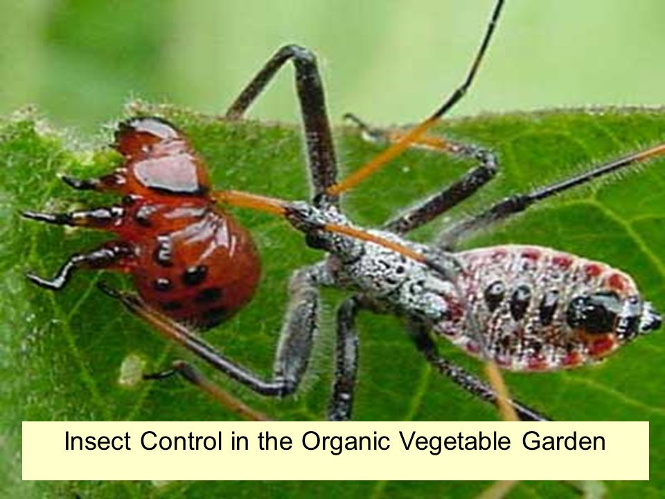 Insect Control in the Organic Vegetable Garden