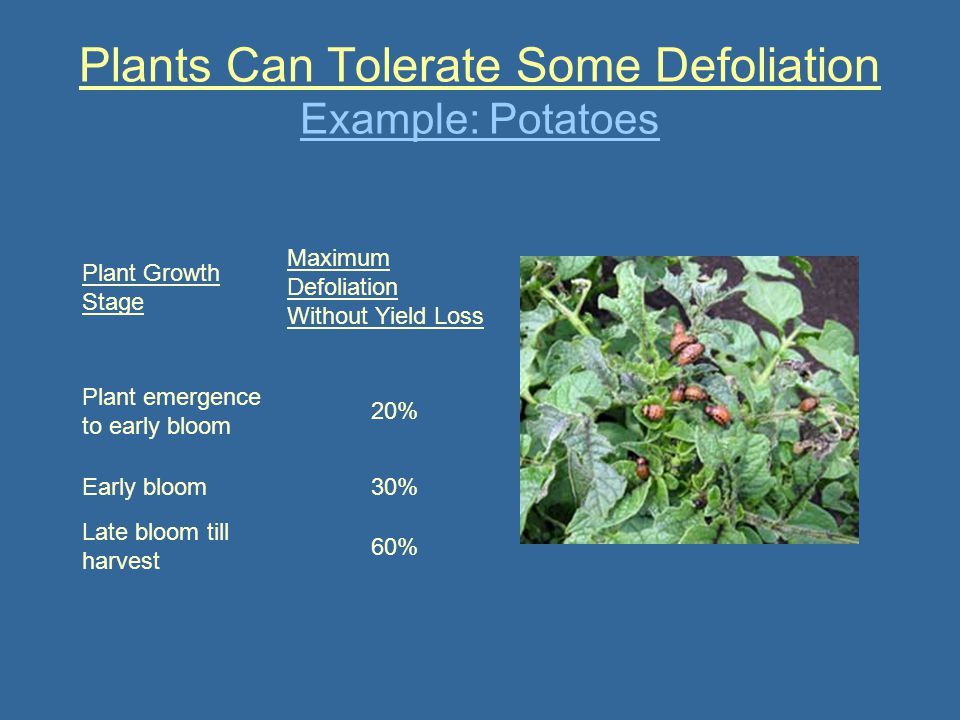 Plants Can Tolerate Some Defoliation Example: Potatoes