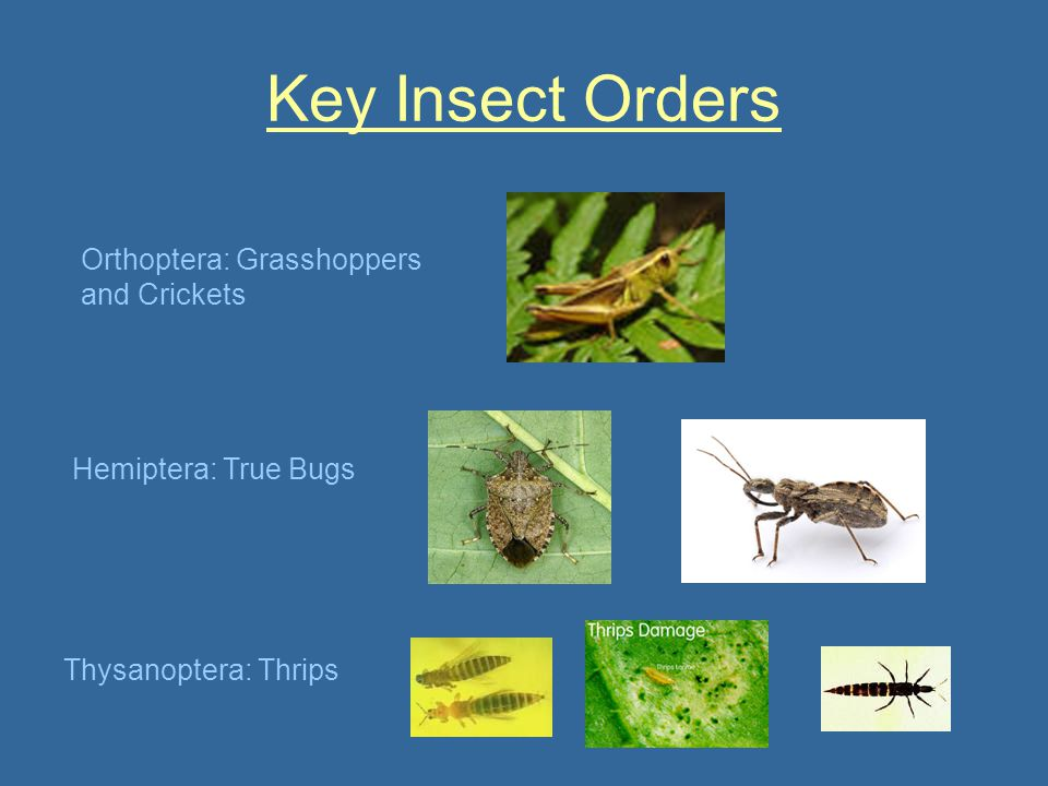 Key Insect Orders Orthoptera: Grasshoppers and Crickets