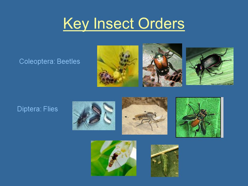 Key Insect Orders Coleoptera: Beetles Diptera: Flies