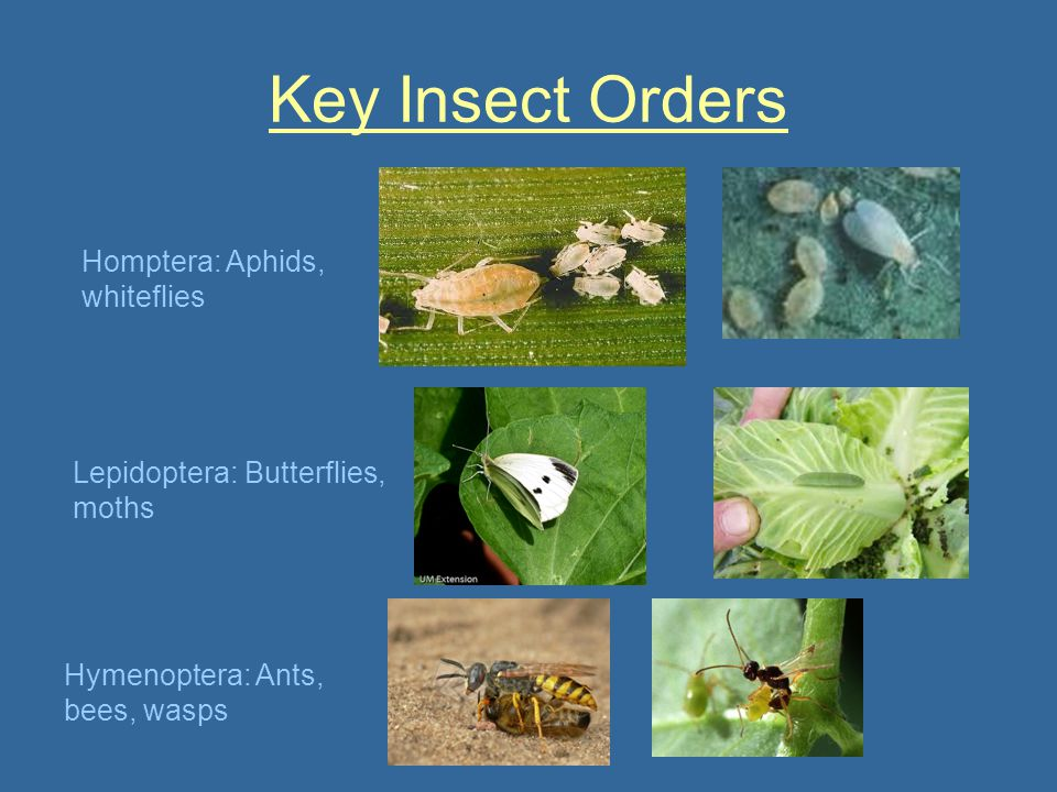 Key Insect Orders Homptera: Aphids, whiteflies
